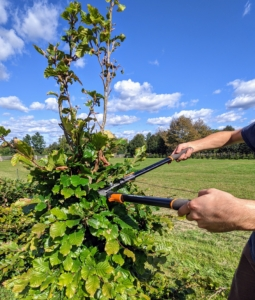 The thicker branches are cut with our Fiskars 28-inch Bypass Lopper.