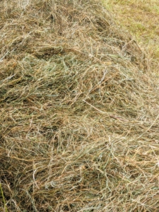Here's some of the hay already placed into a wheelbarrow for the horses. The second cut of hay has a finer texture and usually, a greener color and heavier leaves. It is more dense, the leaves are more tender and if cut at the right maturity, it is healthier with lots of protein.