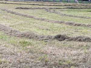 Here is a closer look at a row of hay ready to bale. I have three separate areas for growing hay. They are all planted with a mixture of timothy, orchard grass, Kentucky bluegrass, ryegrass, and clovers – all great for producing good quality hay.