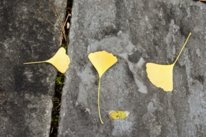 The ginkgo leaves turn a brilliant, luminous yellow in mid-fall.