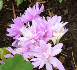 Colchicum looks great clustered together. Planting in groups will create many colorful patches.