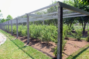 I planted this blueberry patch more than 10-years ago - here, the bushes are just about two feet tall. They are located near my flower garden and large Equipment Barn, next to my grove of quince trees. The posts are the same 18th-century Chinese granite uprights I use for the clematis pergola, my apple espaliers, and to support my raspberry bushes.