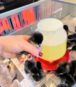 Once they arrive, they are all brought down to the stable feed room, where we set up three brooders - heated enclosures that provide warmth and protection which the chicks would otherwise get from the mother hen.