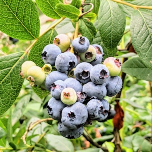 Blueberries produce from early summer through late fall – we pick cartons and cartons of blueberries each year, eat some fresh, and then freeze the rest for use throughout the seasons.