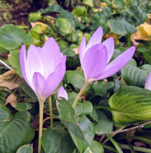 """When the weather is mild, colchicum's flowers begin to unfurl. Most Colchicum plants produce their flowers without any foliage. This is why these flowers were first known by the common name """"naked boys."""" In the Victorian era, they were also called """"naked ladies."""""""