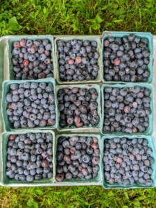 Blueberries are among the most popular berries for eating. Here in the United States, they are second only to strawberries.