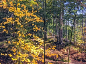 """More of """"Rockefeller's teeth"""" can be seen on the right. On the left is Acer pensylvanicum, better known as the striped maple, moosewood, moose maple or goosefoot maple - a small North American species of maple tree."""