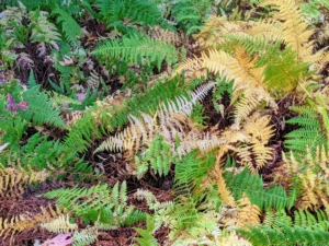 Here is a fall scene of some of the changing colors of the ferns at Skylands. These are hay scented ferns, Dennstaedtia punctilobula. The fronds release a fragrance reminiscent of fresh mown hay when brushed with a hand.