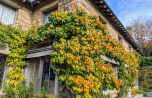 The kiwi vines show such beautiful autumn color. These are at the corner of the Living Hall window. Growing hardy kiwi vines requires extensive space - they can grow more than 20 feet tall.