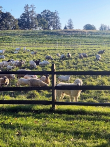 This is a view of the grazing sheep at Stone Barns. (Photo by David Hechler for Stone Barns Center for Food & Agriculture)
