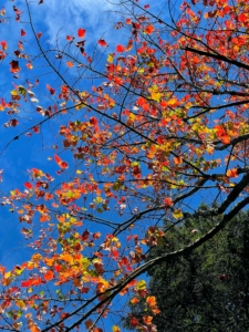 Wendy looks up to snap this photo of another changing maple tree next to an evergreen. The colors change largely because of the changes in the length of daylight and changes in temperature. The leaves stop their food-making process, the chlorophyll breaks down, the green color disappears, and the yellow to orange colors emerge.