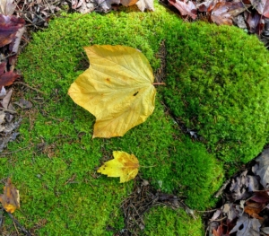 Here, on a moss-covered rock - a moose maple leaf on top and a regular maple leaf on the bottom. The leaves of a moose maple are broad and soft, three to six inches long with three shallow forward-pointing lobes.