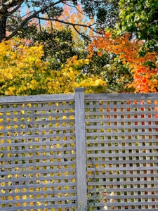 In Maine, my vegetable and flower garden are together in one large space completely surrounded by a tall lattice wood fence. Here is the back fence with more fall color behind it.
