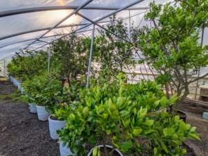 These plants grow a little more each year, so the placement of these specimens changes every time they are stored. Dwarf citrus trees require at least eight to 12 hours of full sunshine.