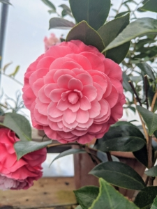 This is what a flower looks like in full bloom. This photo was taken last February. Camellia 'Elizabeth Weaver' has large formal double flowers in coral pink.