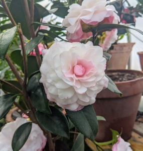 Here's another pretty camellia flower from last winter - 'Nuccio's Pearl' with full double blooms and pure white petals edged with an orchid pink blush.