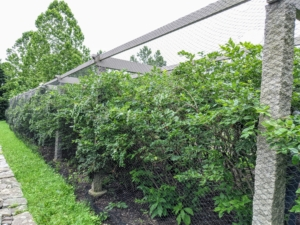 Here is what the bushes looked like just before pruning. I asked Ryan and Brian to prune all three rows so the outer rows were within the pergola posts. I also instructed them to trim the middle row a bit shorter, so ample light could get to all the plants.