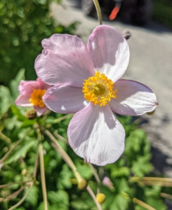 Depending on the species, anemones can bloom from the earliest days of spring into the fall months.