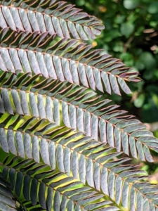 These are the beautiful deep-colored leaves of the chocolate mimosa tree on the other side of the ginkgo. These leaves are bronze-green, fern-like leaves that appear in late spring and then become a deeper rich chocolate-burgundy color in summer.