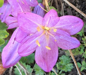 Colchicum is best grown in a sheltered spot that enjoys afternoon sun because this encourages a good succession of wide-open flowers.