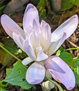 Here's a closer look at 'Waterlily'. 'Waterlily' is a hybrid resulting from a cross of Colchicum autumnale 'Alboplenum' and Colchicum speciosum 'Album'. Each flower resembles the form of a water lily, hence the cultivar name.