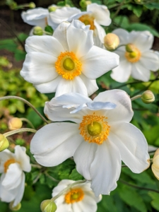 And here are some white anemones blooming in my Stewartia garden. Although Japanese anemone plants tolerate full sunlight, they appreciate a lightly shaded area where they are protected from intense afternoon heat and sun. What flowers are still blooming in your gardens? Share with me in the comments section below.