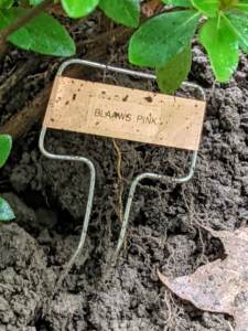 Finally, the marker was carefully placed at the base of the plant, facing out, so it can be seen clearly. And be sure to note the varieties planted. It is always a good idea to keep track of those varieties that do well in the garden.