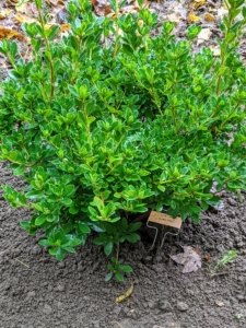 Here is one all planted and marked. Azaleas have short root systems, so they can easily be transplanted in early spring or early fall.