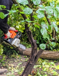 Pasang is a very skilled chainsaw operator. He cuts smaller branches first, making sure they are not in the way of any other plants or trees in the area.