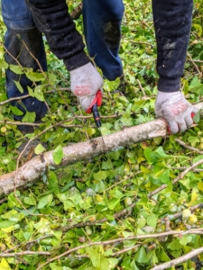 Some of the branches can be cut using a hand saw. Arborist hand saws are designed to cut quickly in live or dead wood, and the most common pruning saws are curved for increased cutting power.