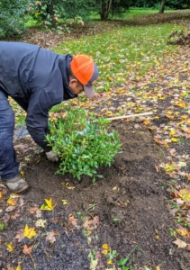 He also makes sure the plant is straight before tamping down lightly to establish good contact between the soil and the plant root ball.