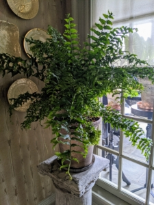 This fern is an interesting looking fern with large fronds and a pleasant green-blue color. Its ability to tolerate lower-light conditions and relatively easy care make it a great choice for any fern lover.