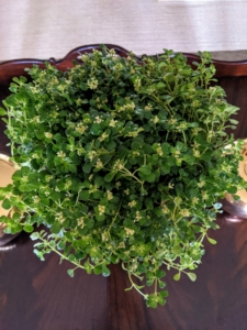 Not only do houseplants enhance the overall appearance of a space, but they've also been known to increase creativity, reduce stress, and eliminate air pollutants. For my meetings, my gardeners, Ryan and Brian, brought in a variety of ferns, begonias, Peperomia, rhipsalis, alocasia, dracaena, haworthia, and this sedum - all so lush and green.