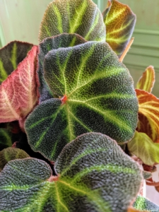 Here is another begonia with dark green leaves and chartreuse colored veins. Begonias grow best in light, well-drained soil. Begonias are remarkably resistant to pests primarily because their leaves are rich in oxalic acid – a natural insect repellent.