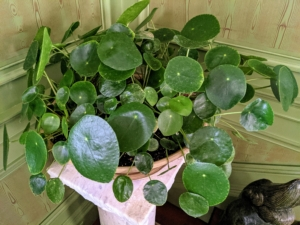 Guests always admire my Chinese money plants, Pilea peperomioides. The Pilea peperomioides has attractive coin-shaped foliage. This perennial is native to southern China, growing naturally along the base of the Himalayan mountains. It is also known as coin plant, pancake plant, and UFO plant.