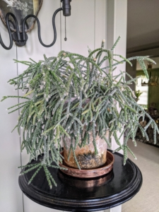 This is a potted rhipsalis, native to the rainforests of South America, the Caribbean and Central America. Rhipsalis is a cacti genus with approximately 35 distinct species. I have many types of rhipsalis growing in my greenhouse. Rhipsalis specimens have long, trailing stems making them perfect choices as indoor plants on pedestals or tall tables.