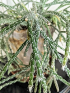 Here's a closer look. Also known as chain cactus or mistletoe cactus, the thread-like succulent stems are narrow, green and can grow several feet long.