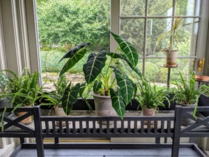 In this plant stand on my enclosed porch, Ryan placed an alocasia and four smaller potted ferns.