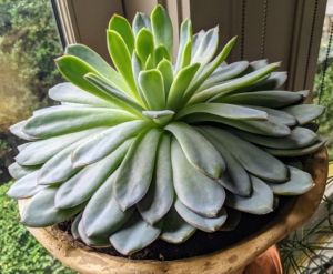 Echeverias are some of the most attractive of all succulents and they are highly valued by plant enthusiasts for their gorgeous colors and beautiful shapes. The leaves are also fleshy and have a waxy cuticle on the exterior. The echeveria plant is slow growing and usually doesn't exceed 12 inches in height or spread.