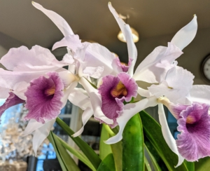 And here is a gorgeous potted orchid sitting on the servery counter in between my kitchen and sitting room. This orchid is Laeliocattleya C.G. Roebling var. coerulea 'Beachview' - a beautiful hybrid between Cattleya gaskelliana and Laeilia purpurata. The large light blue-white flowers have a pleasant fragrance and an indigo blue tubular colored lip. The next time you are entertaining, consider using houseplants as decorations – they are sure to liven up any room. In my next blogs, I'll talk about the delicious foods I served at these business gatherings - stay tuned.