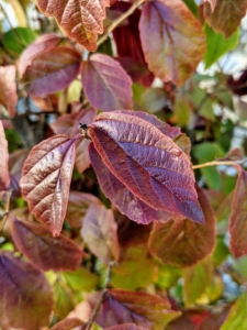 Persian parrotia or Persian ironwood is a small upright tree or large, rounded, multi-stemmed shrub. It is related to witch-hazel. The oblong green leaves turn various shades of red, orange and yellow in the fall, often persisting into the winter months.
