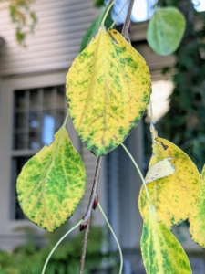 Outside my Winter House, I have three tall weeping katsura trees. These trees also change color - its blue-green foliage turns bright yellow in fall.