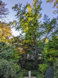And soon, this majestic ginkgo and all the other ginkgo trees around the farm will all turn golden yellow, and then on one day after the first frost, all the leaves will just fall, covering the ground beneath them with a gorgeous carpet of autumnal color. I'll be sure to share those photos. Stay tuned.