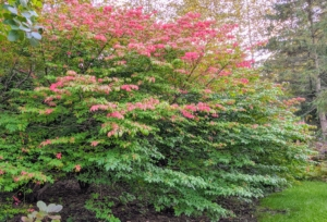 Not far is this striking burning bush shrub with fiery scarlet foliage just starting to show. This bush is as low-maintenance as it is dazzling, making it exceptionally easy to grow as either a single specimen plant or in a grouping.