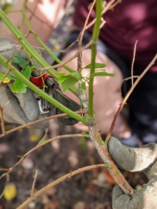 It's also a good idea to keep all pruning tools disinfected to avoid the spread of any disease.