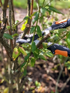 For larger branches, Brian uses our Fiskars 28-inch Bypass Lopper. The lopper can cut branches that are one to one-3/4 inches thick.