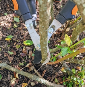 When pruning, cut about one-third of the branches all the way down to the ground to stimulate new stems to emerge from the roots.