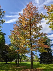 For fall color, the sweetgum, Liquidambar styraciflua, is hard to beat. Its glossy green, star-shaped leaves turn fiery shades of red, orange, yellow and purple in the fall.