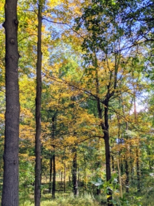 Here's a view through the woodland. Many of these trees are deciduous, meaning they tend to seasonally shed their leaves after showing off their brilliant fall colors.