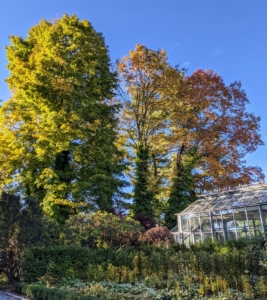 Here are more maples outside my main greenhouse. Maple fall colors range from yellow to orange to red.